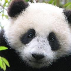 Photo : Naissance d'un panda