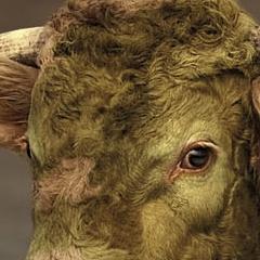 Photo : Camouflage pour taureau
