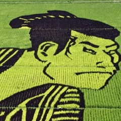 Photo : Japon : champs de riz