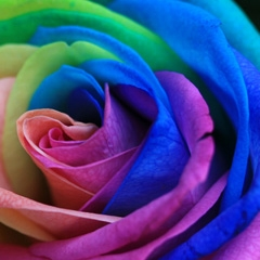 Photo : Roses multicolores