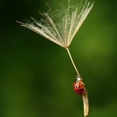 Photo : Coccinelle en parachute