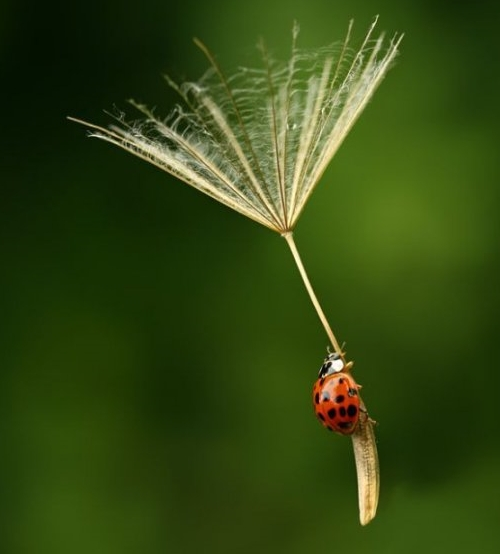 photo d'une coccinelle en parachute